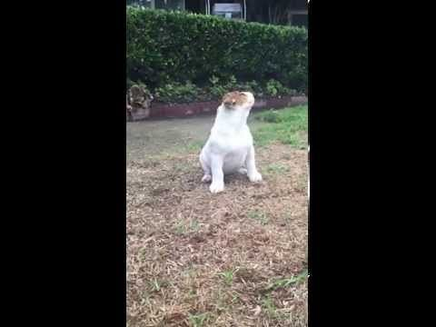 Bulldog Puppy Feels Rain For The First Time Can T Handle Why The