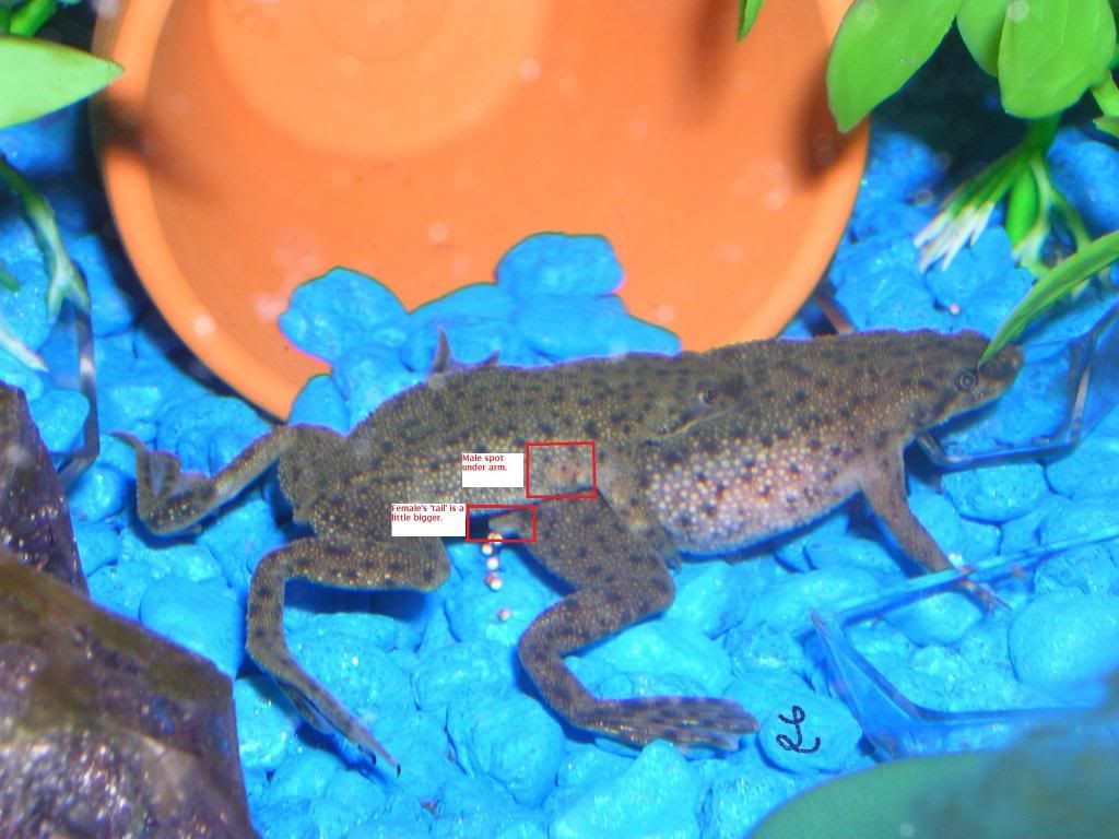 Can Frogs Live In Fish Tanks