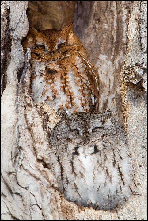 二羽のフクロウが寝ている可愛い壁紙