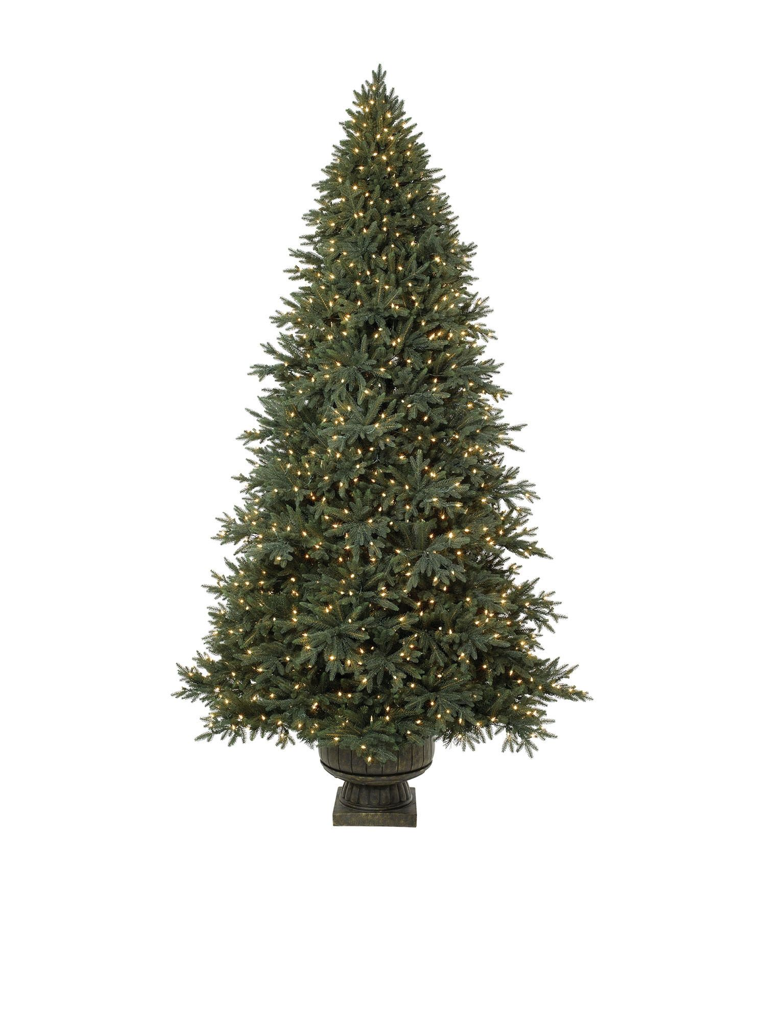 Potted Colorado Mountain Spruce