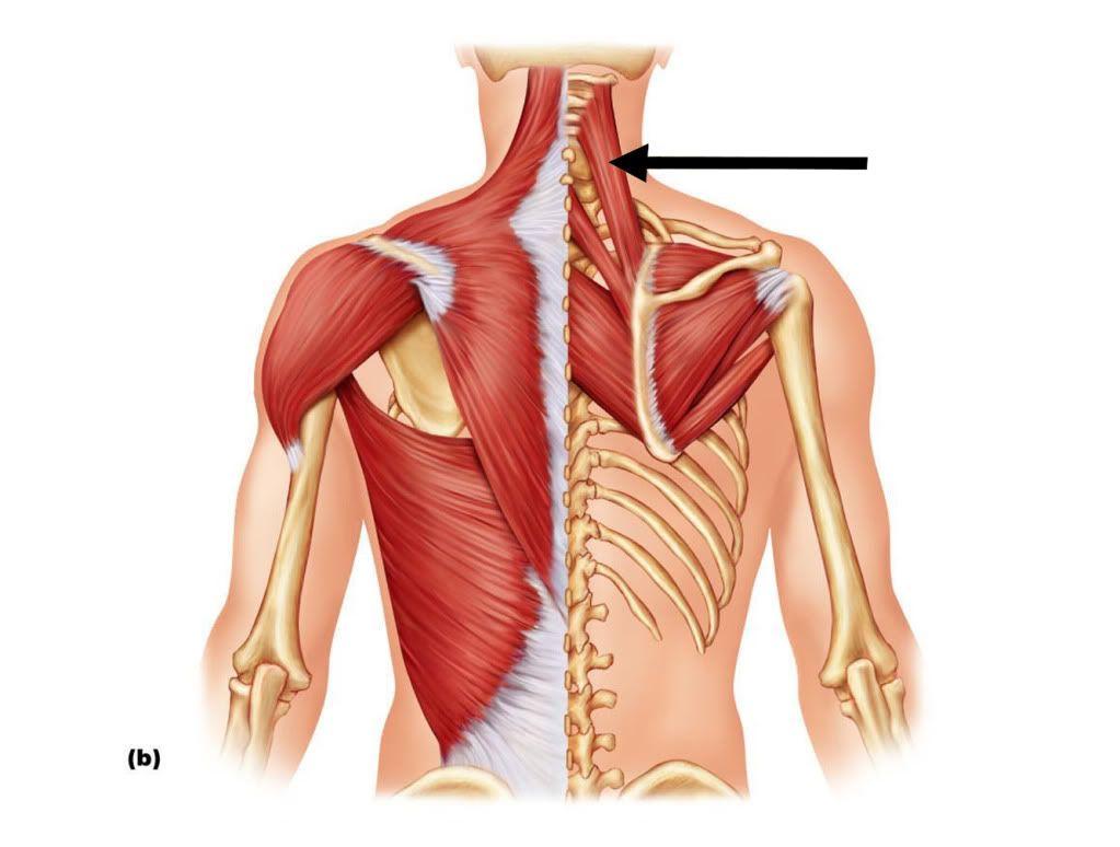 levator scapulae #anatomy | fit tips | muscle anatomy, anatomy, scapula