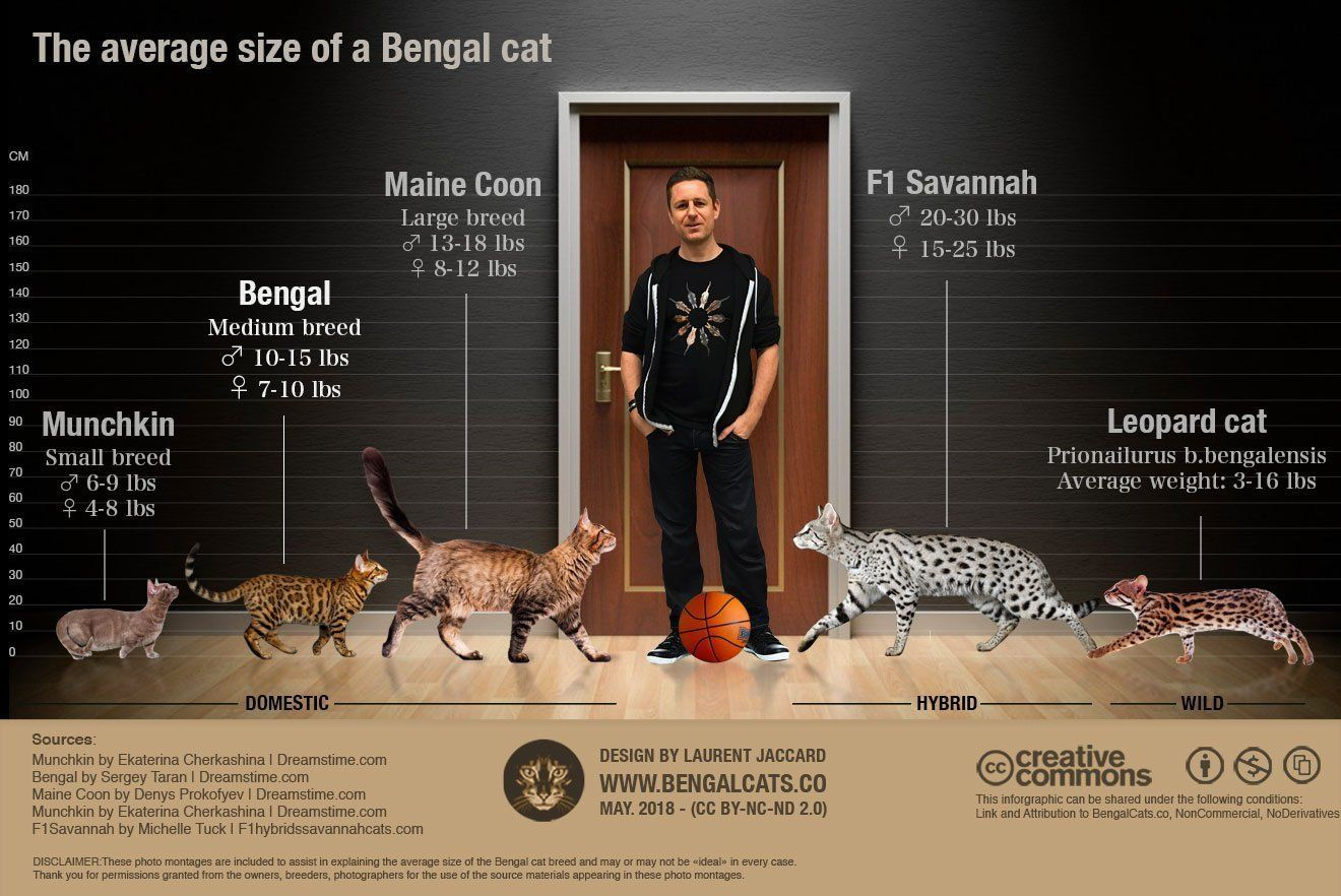 How Big Will a Full Grown Bengal Cat Be? Bengal