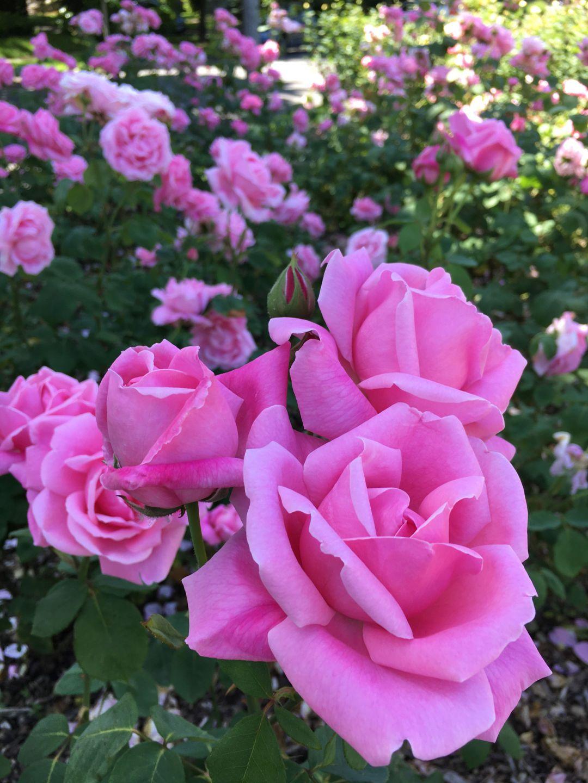 Lovely rose garden with bird bath in center. Rose garden