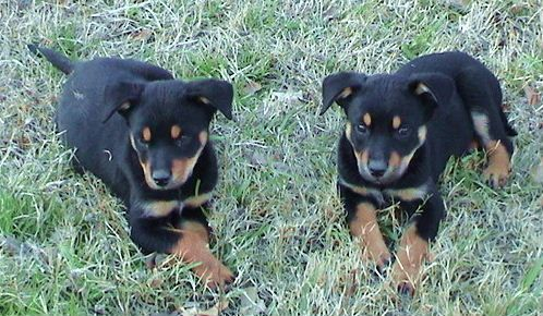 Australian Kelpie Photo Coat Colors Of The Working Australian