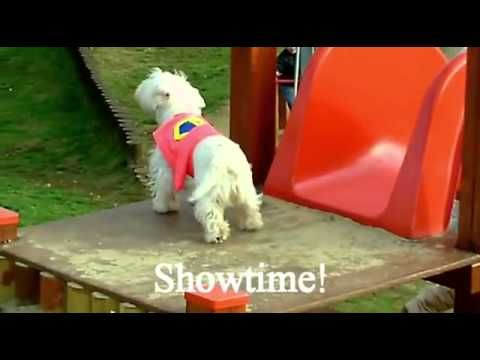 Westie Dog Loves Slides - YouTube