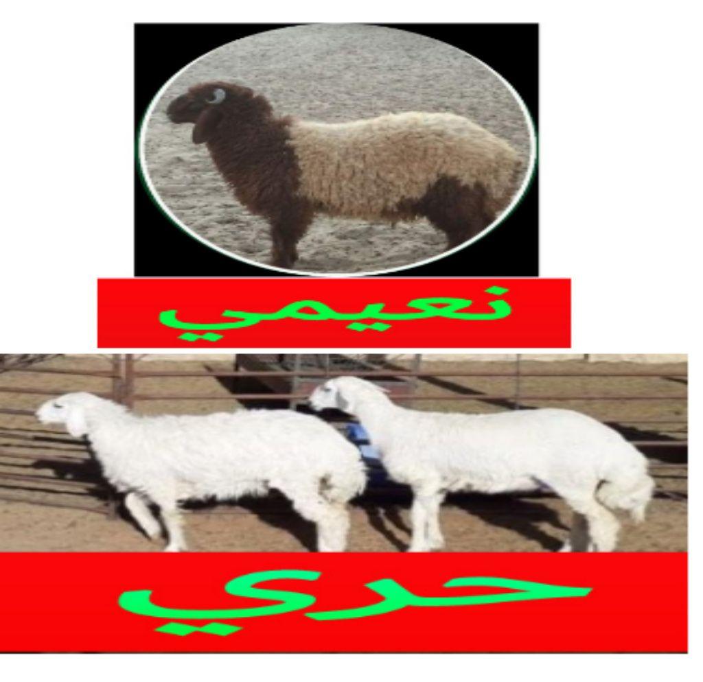 مؤسسة الموارد لبيع ذبايح في الرياض 0554435958 ذبايح نعيمي للبيع بالرياض منتديات عسير