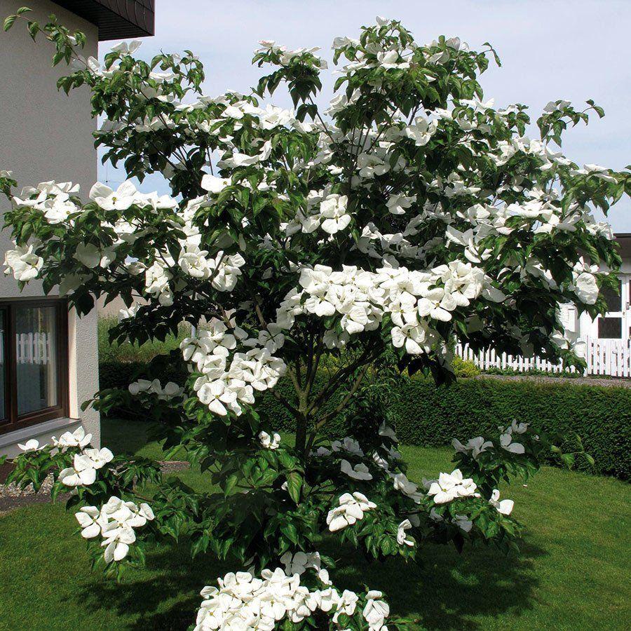 Eukalyptus Gunnii Gartenpflanzen Online Kaufen Bestellen In 2020 Straucher Garten Baume Garten Pflanzen