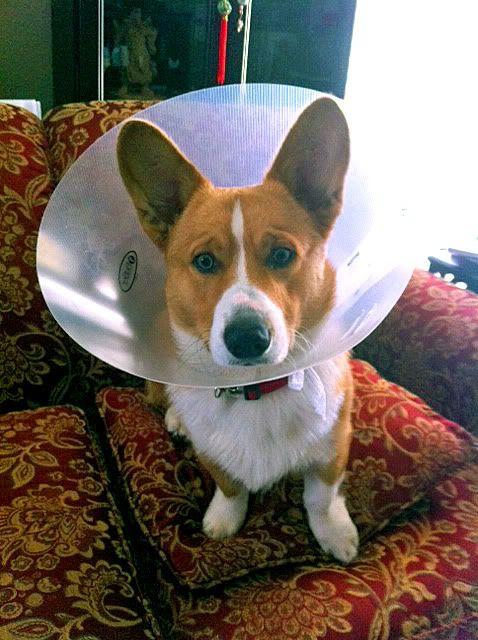 Aww Poor Corgi Corgi Amore Corgi Corbin Dallas Cute Puppies