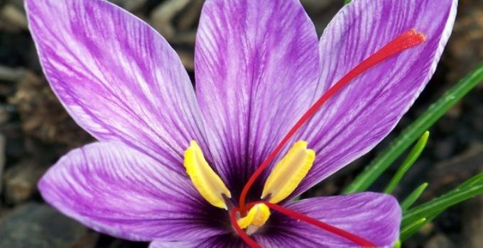 Manfaat Tanaman Hias Bunga Saffron, Penghias dan Rempah