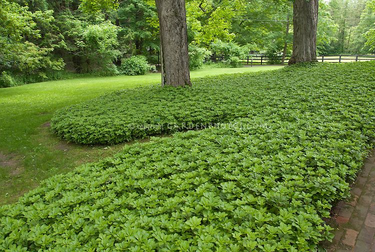 Ground Cover Lawn Pachysandra Plant Flower Stock Photography
