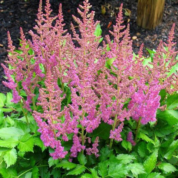 Astilbe Chinensis Visions Shade Perennials Astilbe Plants