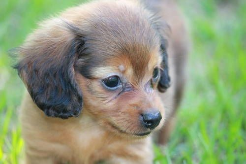 Long Haired Chiweenie Miniature Long Haired Dachshund Puppies