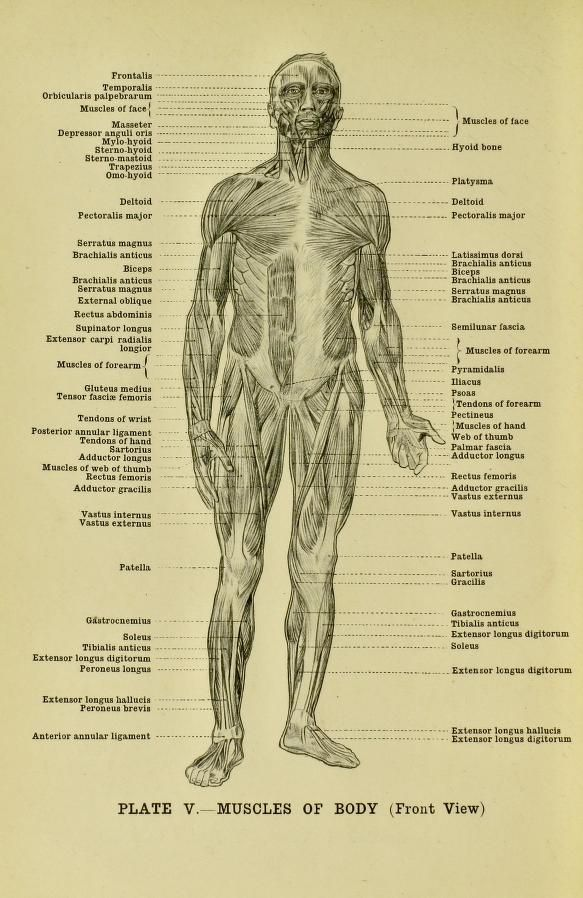 Muscles of the body, front view, from \'Human anatomy for art studen ...