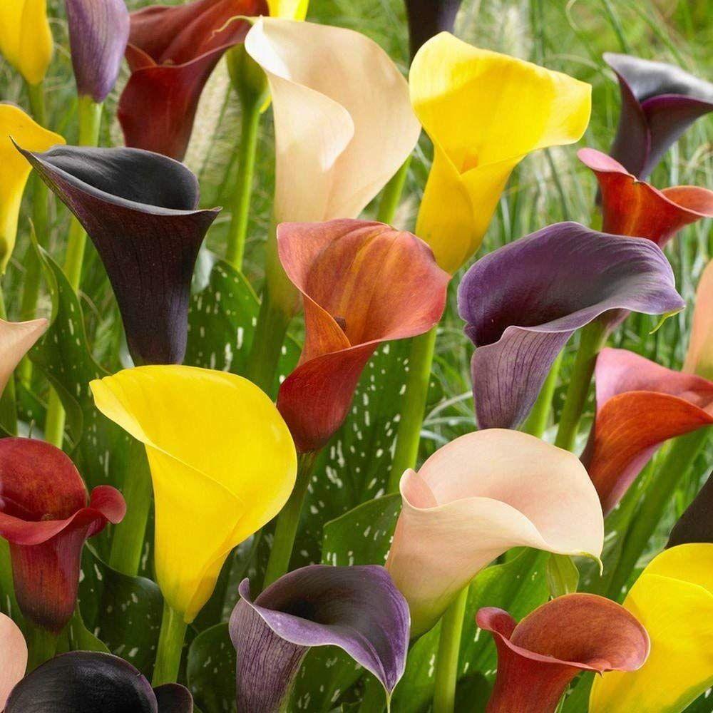Gardening Garden Outdoors New Bulb Tuber Zantedeschia Picasso