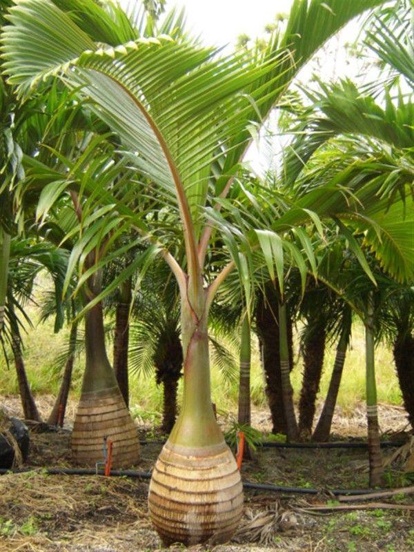 La palmera botella palmeras palmas y plantas - Jardines con palmeras ...
