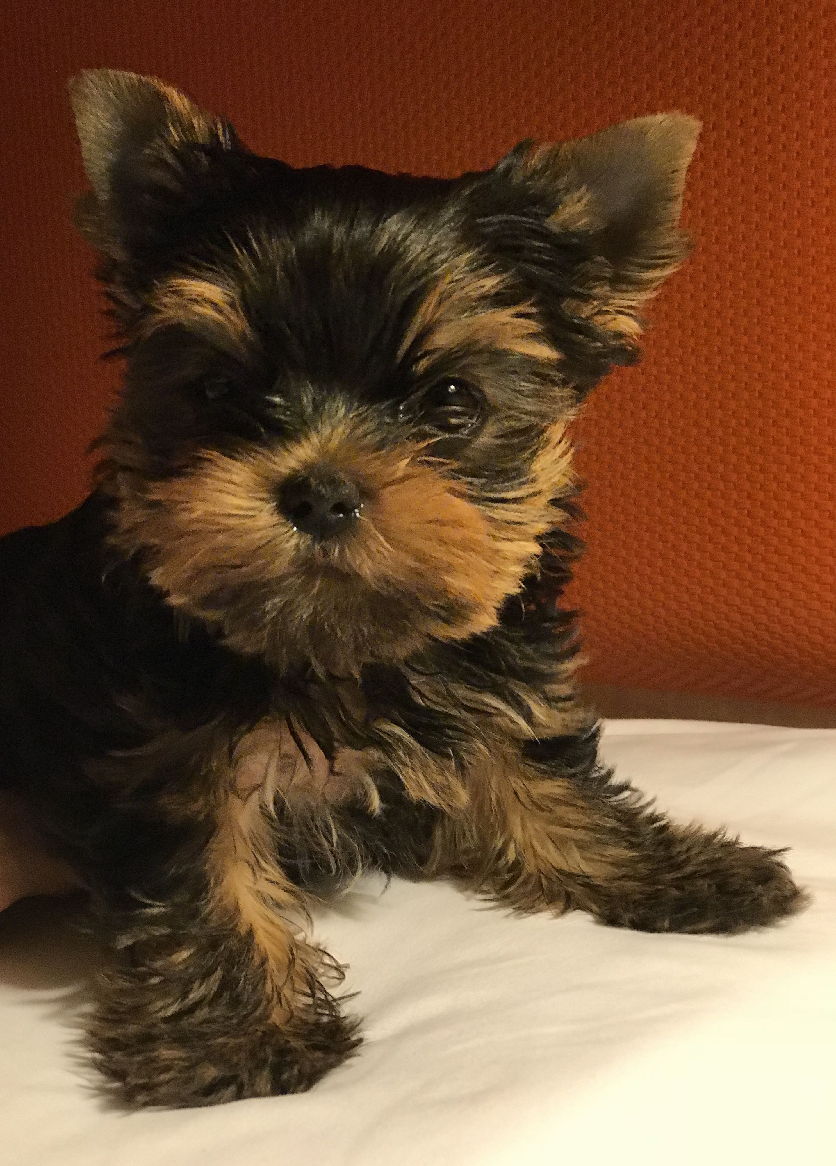 Killian Radford Yorkshire Terriers 540 986 1604 Cute Small Animals Pets Dogs Breeds Yorkshire Terrier