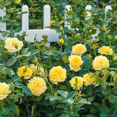 Yellow Freedom Rose Flower Pot Design Spring Hill Nursery Planting Roses