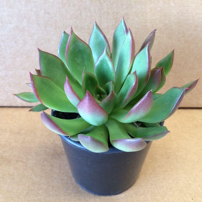 Succulents Nursery Plants