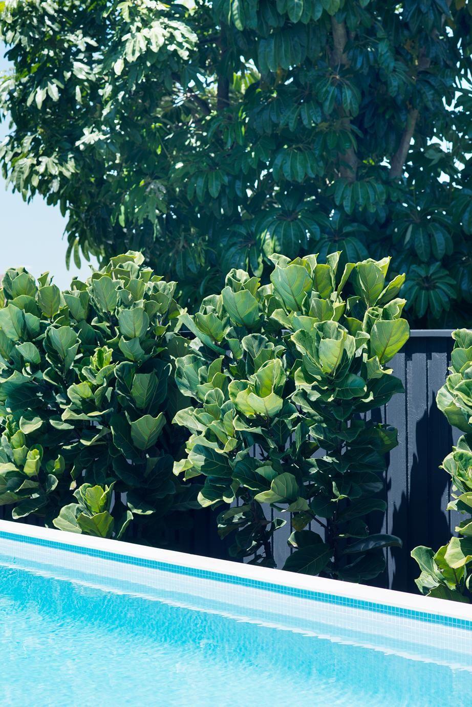 Fiddle Leaf Figs as pool hedging   via homestolove.com.au + ...