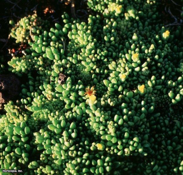 Ice Plant (Delosperma nubigerum)