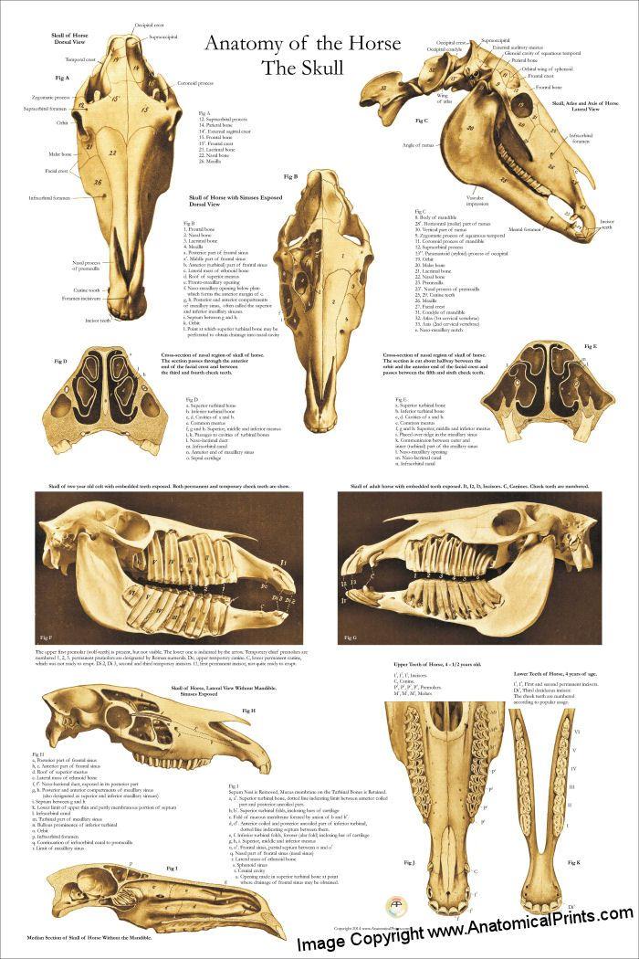 Horse Skull Anatomy Poster - 24\
