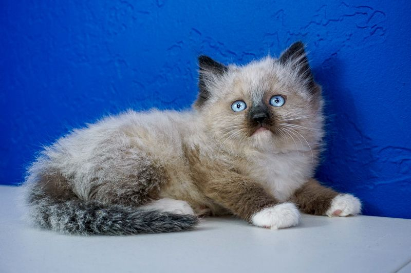 Ragdoll Kittens for Sale Near Me Buy Ragdoll Kitten