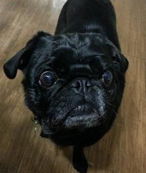 Meet Theo From Pug Hugs Inc Wisconsin Pug Rescue Pug Rescue