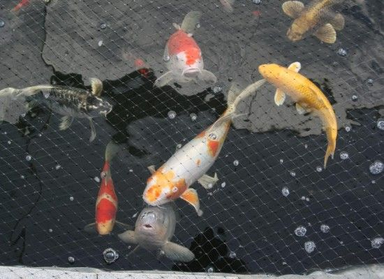 6 Fabulous Koi Fish Price Range