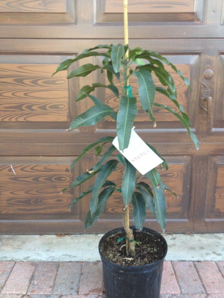 Cogshall Mango Tree Dwarf Condo Live Plant Grafted
