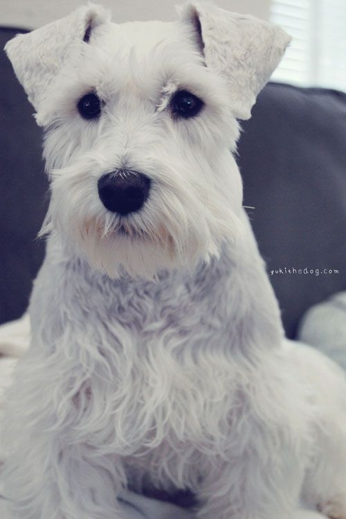 Pin By Teri Giese On Darling Dogs Schnauzer Puppy Miniature Schnauzer White Miniature Schnauzer