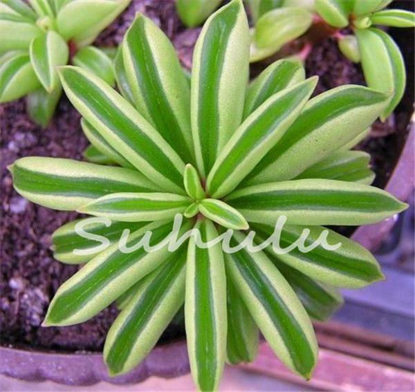 Free shipping 100 pcs lotus succulent seeds rare lithops seeds bonsai flower seeds echeveria plant potted
