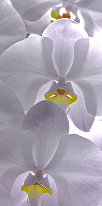 Bricabrac Orchidee Blanche Fleurs Exotiques Planter Des Fleurs