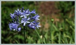 Common Names African Lily Of The