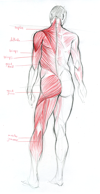 a drawing made in my anatomy class which represents the muscles of the back