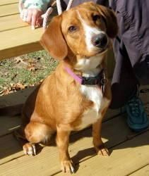 II is an adoptable Beagle Dog in Little Rock, AR.  BUTTERSCOTCH ('Butters'), a Beagle mix, is sweet as can be! At age 10 months and 30 pounds, it is likely that she will not gain more wei...
