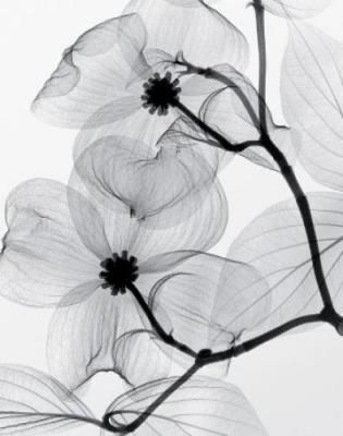 xray of a flower