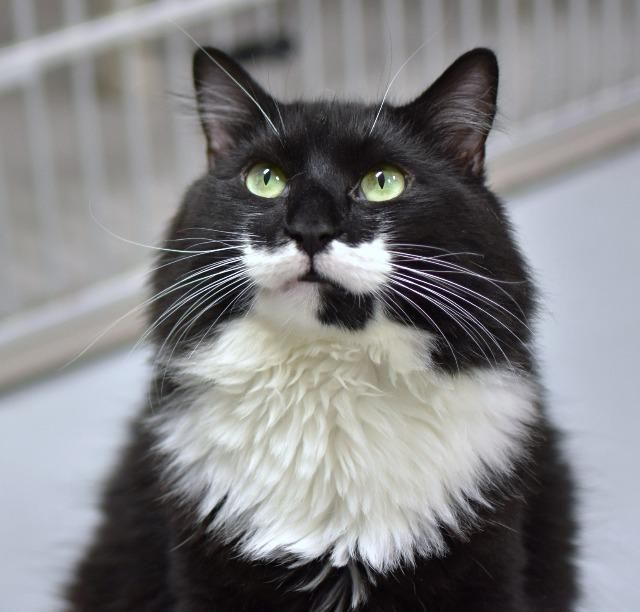 Zorro Is An Adoptable Domestic Medium Hair Searching For A Forever Family Near Ewing Nj Use Pe Cute Cats And Kittens Animals Beautiful Cute Animals