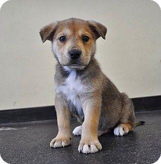 Sacramento Ca Husky German Shepherd Dog Mix Meet Scout A Puppy For Adoption Puppy Adoption Shepherd Dog Mix Kitten Adoption