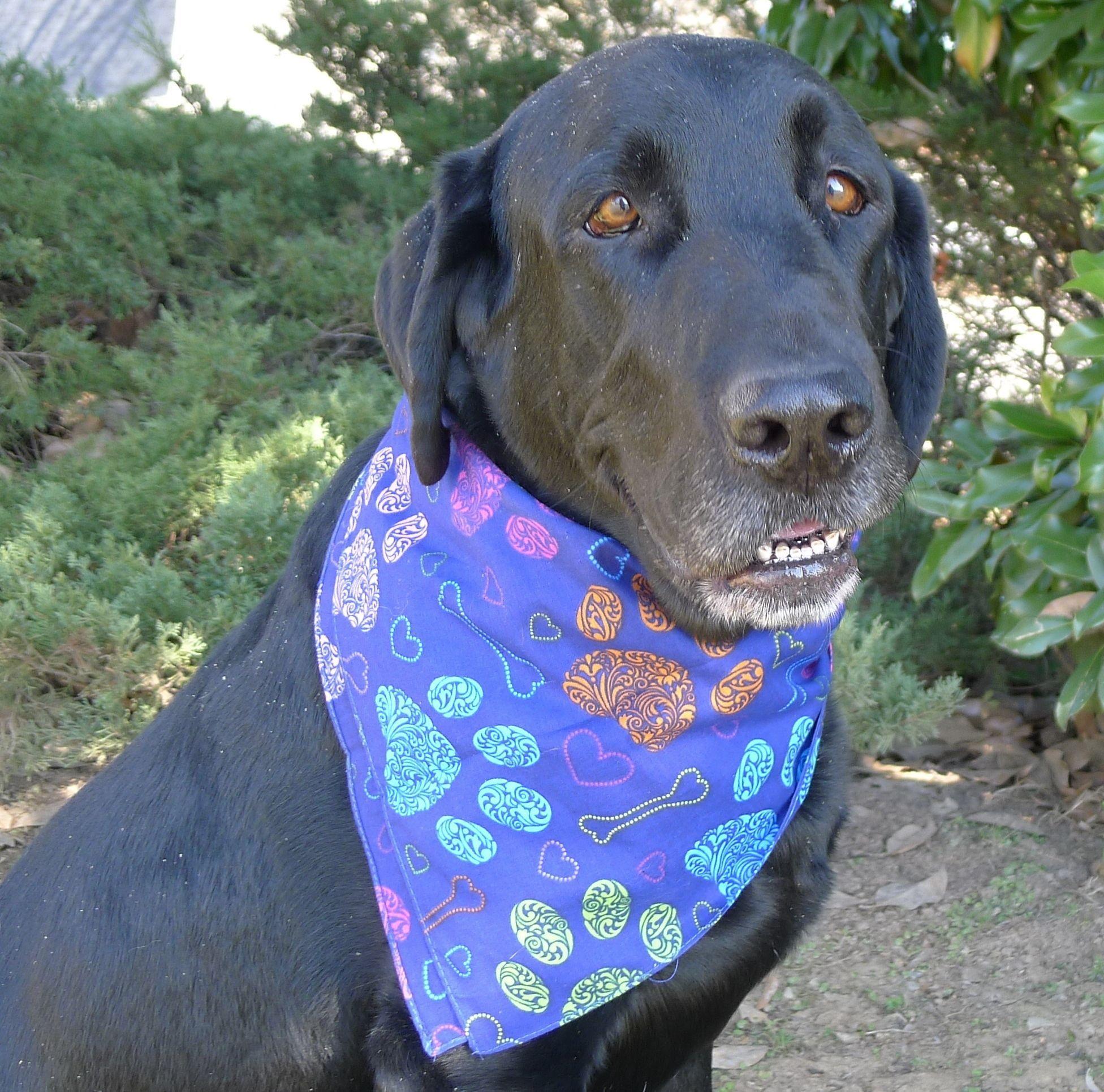 Asa is an adoptable Dog Labrador Retriever Mix searching