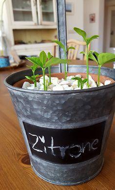 wir haben es ausprobiert sarah pinterest zitronenbaum zitronen baum und pflanzen. Black Bedroom Furniture Sets. Home Design Ideas