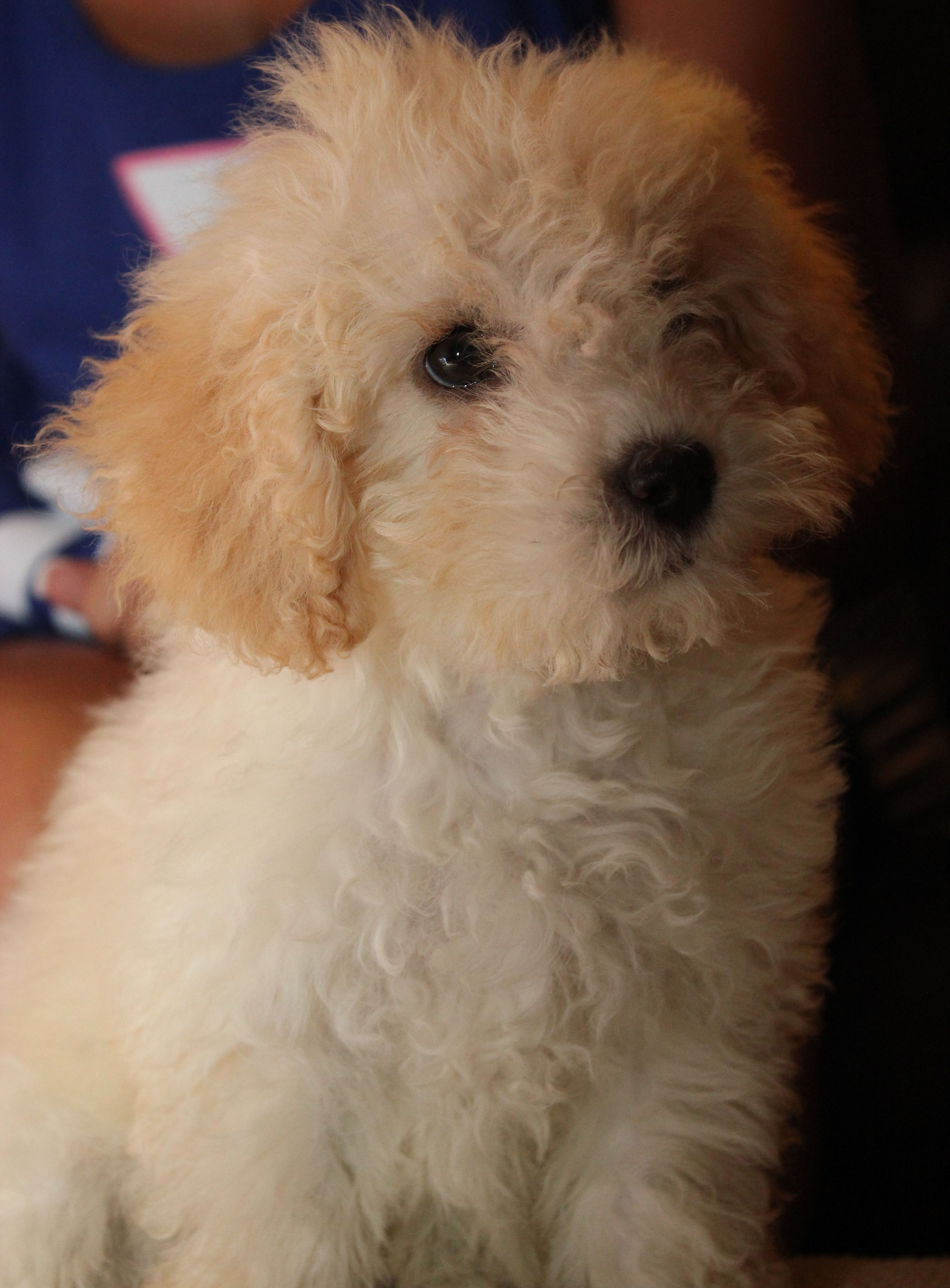Maltese Poodle Puppy 0 Puppies Kittens Cats And Dogs Dogs