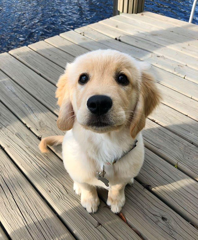 39 3k Likes 394 Comments Golden Retrievers Goldenretrievers On Instagram 20 Beady Black Eyes Follow Them Cute Puppies Golden Retriever