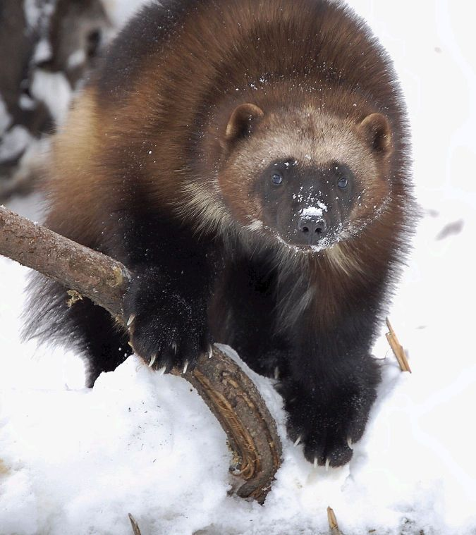 Enviro groups claim wolverines are at risk - Jackson Hole News&Guide: Environmental