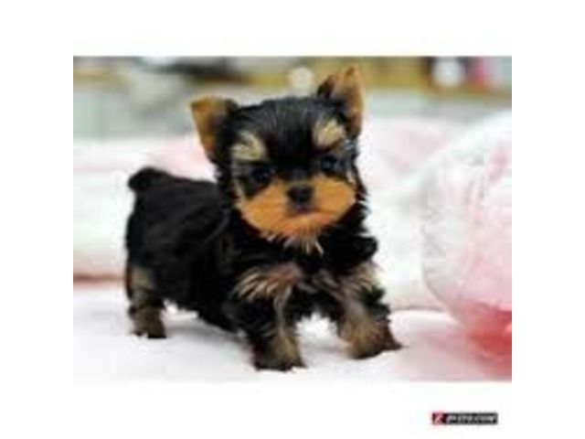 Animals Adopt Healthy Yorkie Pups First Shot And Wormings Male And Female Small Rehoming Fee Required Teacup Yorkie Puppy Yorkie Puppy Yorkie Puppy For Sale