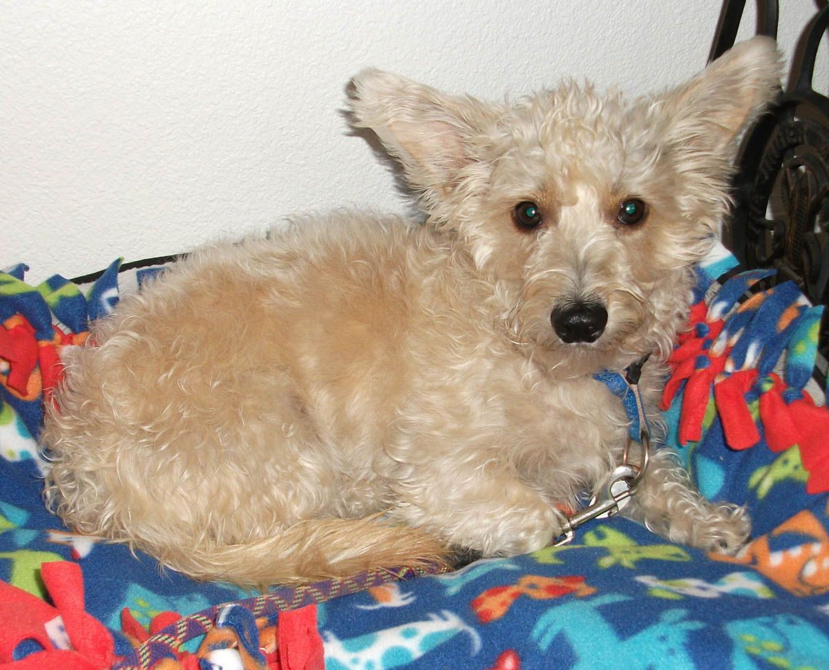 Whittier Snuggled In A Blanket Scottish Terrier Terrier