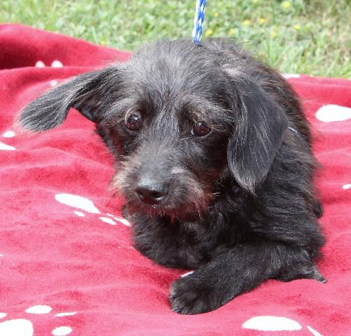 Gus Is A 4 Month Old Male Chi Weenie Poo Chihuahua Dachshund Poodle Mix At First Look You Would Think He Is S Love Your Pet Homeless Pets Animals Beautiful