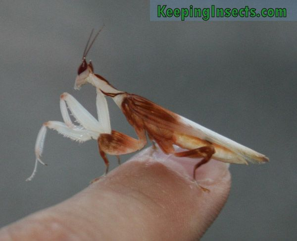 Adult Male Orchid Mantis Orchid Mantis White Orchids Orchids