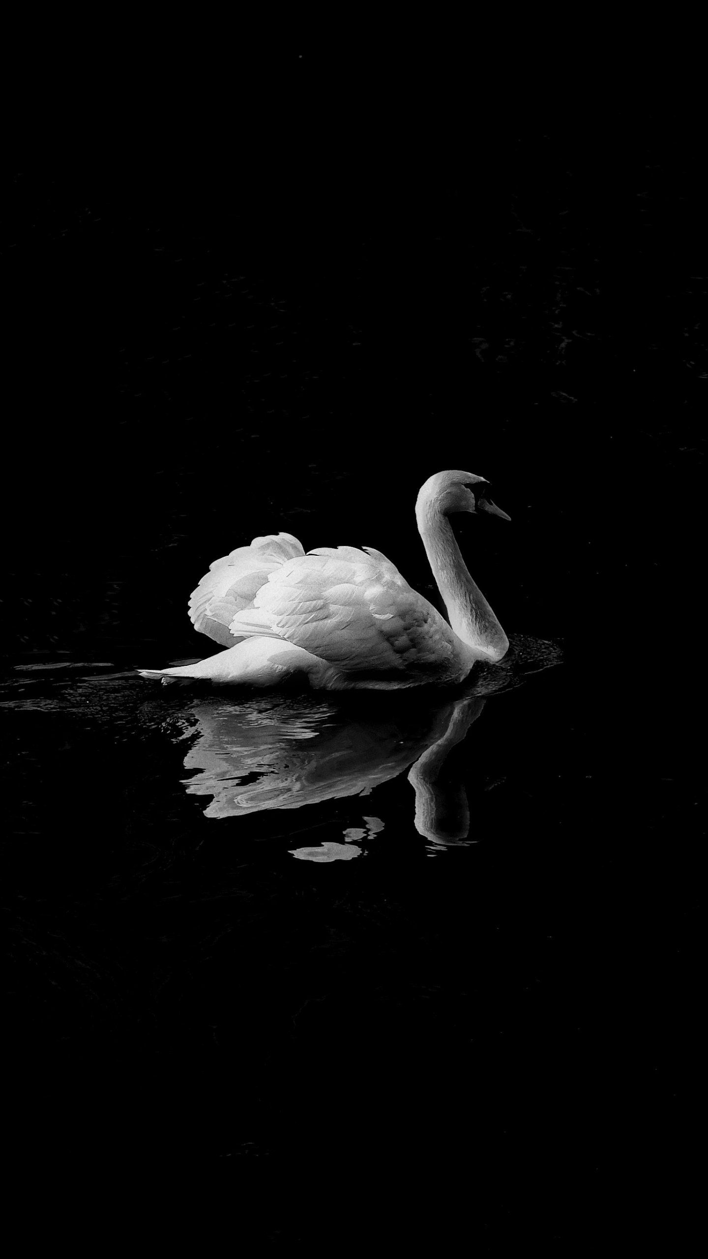 Swan in Lake iPhone Mobile Wallpaper iPhone Wallpaper