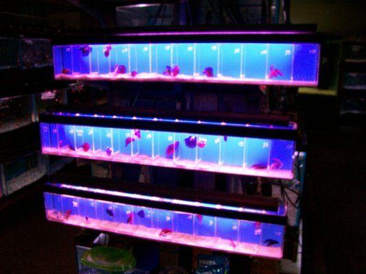 Betta Tanks Yelp Betta Aquarium Betta Betta Tank