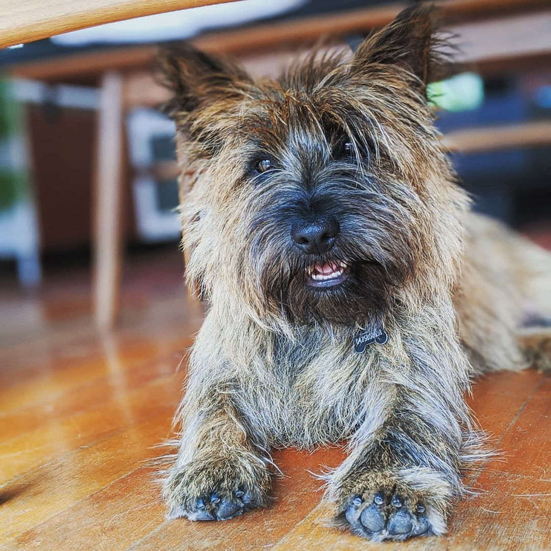 Chocolate Poisoning In Pets Pets Cairn Terrier Terrier